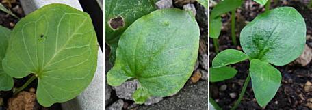 カラスビシャクの葉の変化