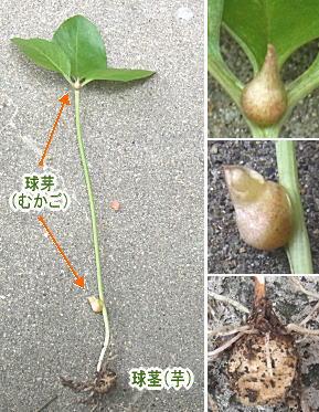 カラスビシャクの球茎と球芽