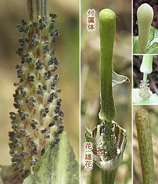 マムシグサの肉穂花序