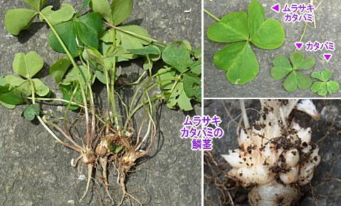 ムラサキカタバミの鱗茎