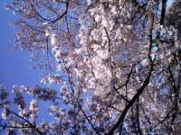 桜_convert
