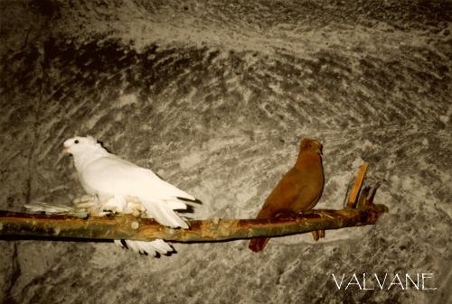 トルコ、カッパドキアの鳩 1