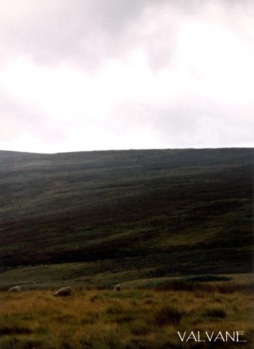 イギリス、「嵐が丘」の羊
