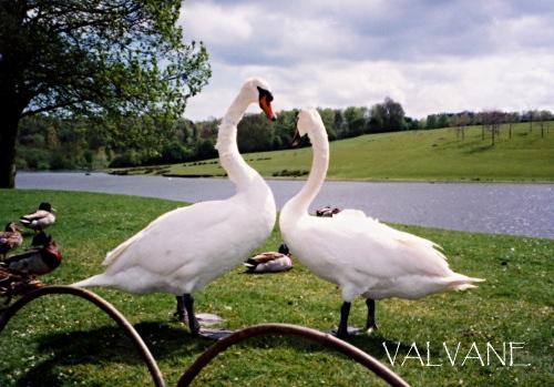 イギリス、リーズ城の愛し合う2羽