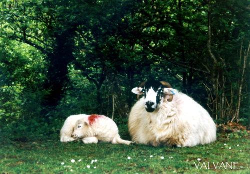 イギリス、ダートムーアの羊