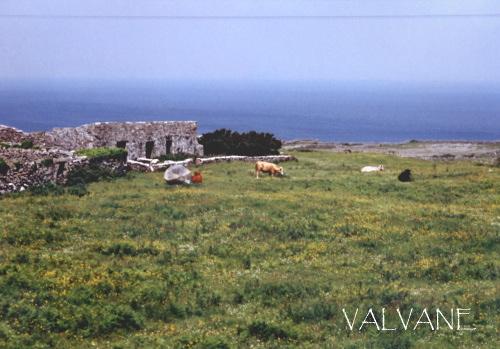 アイルランド、イニシュモア島の牛