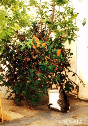 ギリシャ、猫のなる木