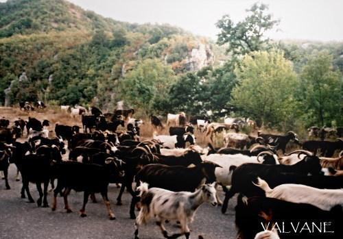 ギリシャ、山羊の行進