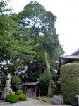 桂全寺「大むくの木」