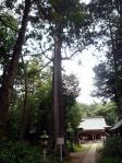 小針神社・天然記念物の「杉」