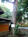 氷川神社「スギ」
