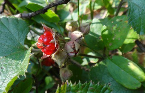 1野イチゴ