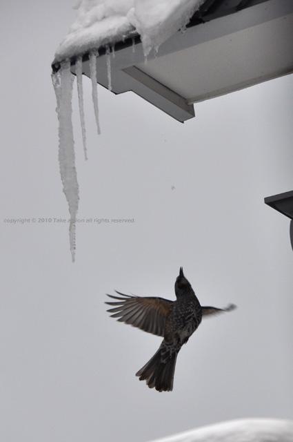 2012・3・1庭に来る鳥7
