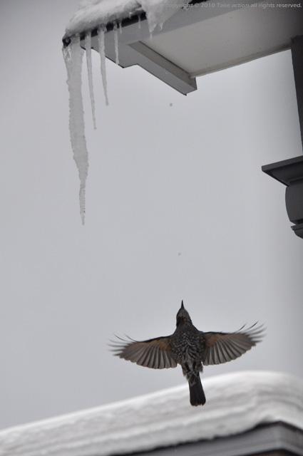 2012・3・1庭に来る鳥8