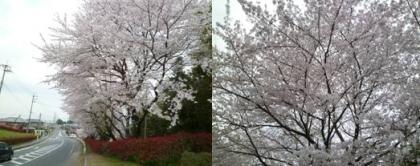 喜多自治会館横の公園の桜です