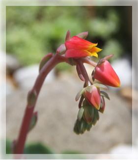 七福神の花
