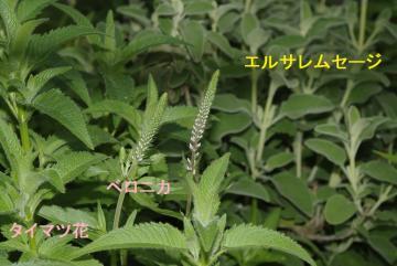 宿根草_IGP8455