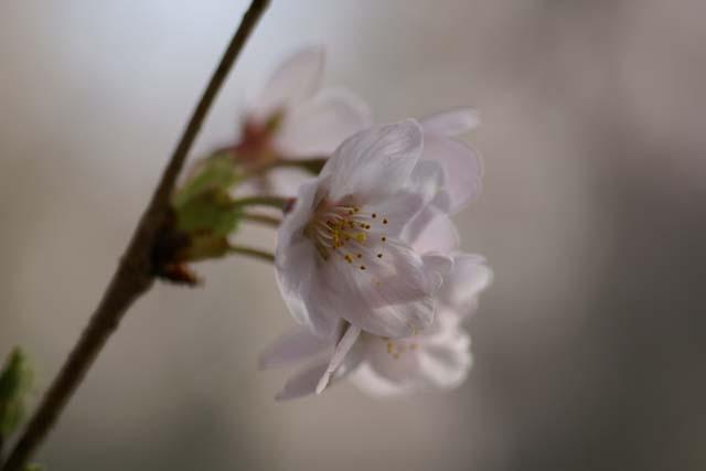 透きとおる花びら