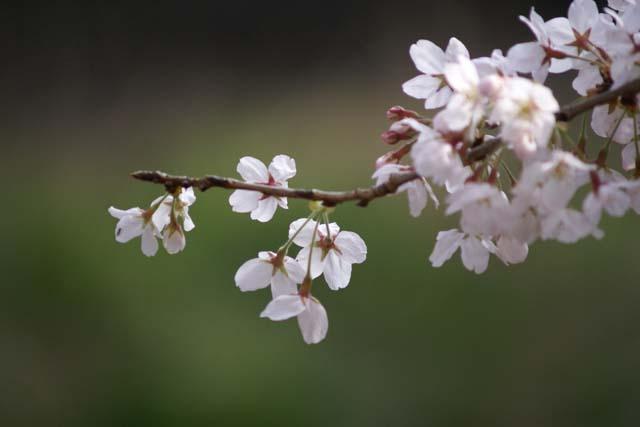 横浜恩田川沿いの桜、早朝