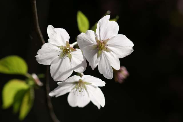 マクロな桜