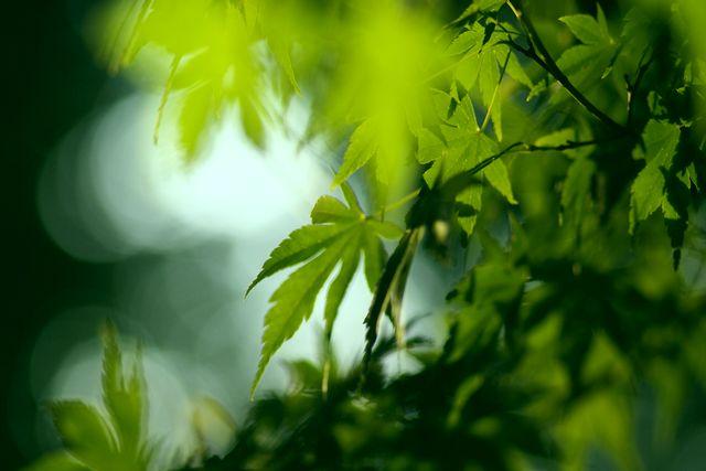 透けるかえでの葉