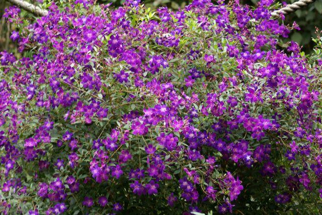 紫ののぼたん