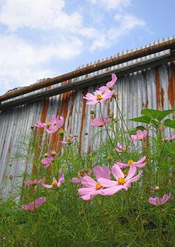 kosumosu0805.jpg