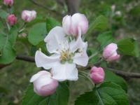 リンゴの花摘花前