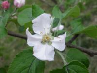リンゴの花摘花後