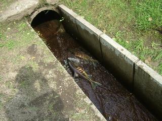 水路の所々に同じような鮭たちが横たわっていた。