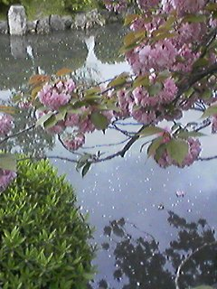 散りゆく花びら浮かぶ水面