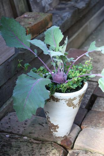 T's Garden Healing Flowers‐コールラビの寄せ植え