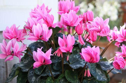 T's Garden Healing Flowers‐シクラメン・チモ