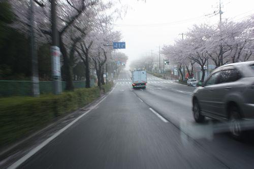 T's Garden Healing Flowers‐朝の桜