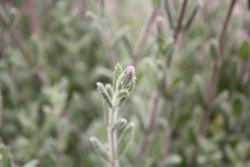 T's Garden Healing Flowers‐キャットミント