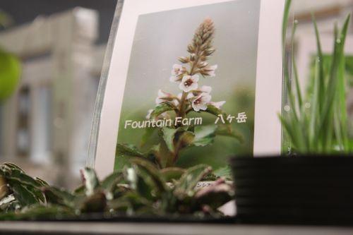 T's Garden Healing Flowers‐リシマキア・ユンナネンシス