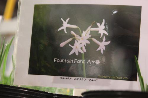 T's Garden Healing Flowers‐ツルバキア・アルバ