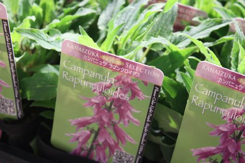T's Garden Healing Flowers‐カンパニュラ・ラプンクロイデス