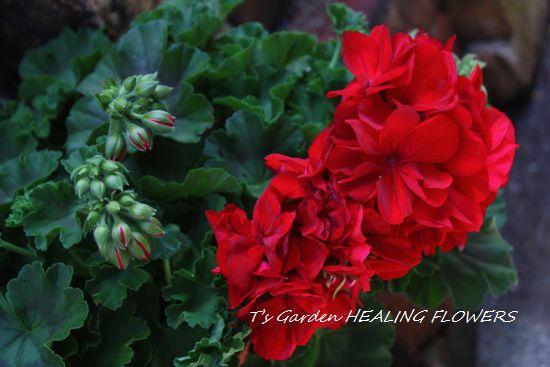T's Garden Healing Flowers‐ゼラニウム・カリオペダークレッド