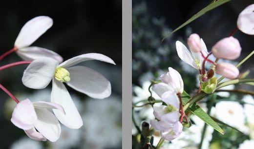T's Garden Healing Flowers‐クレマチス・アーマンディ-アップルブロッサム