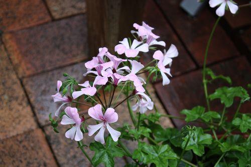 T's Garden Healing Flowers‐アイビーゼラ・ヴィル・デ・ドレスデン