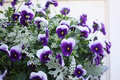 T's Garden Healing Flowers‐ビオラ・ディープパープルビーコンのハンギング