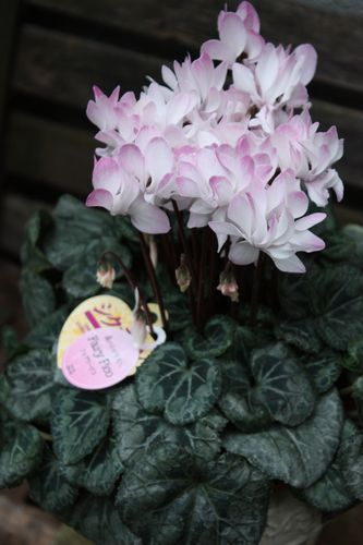 T's Garden Healing Flowers‐シクラメン・フェアリーピコ