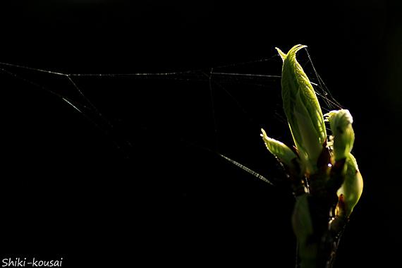 新芽と蜘蛛の巣