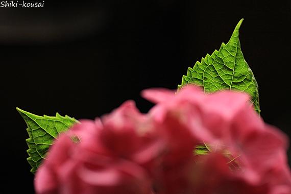 紫陽花・ピンクドリーム