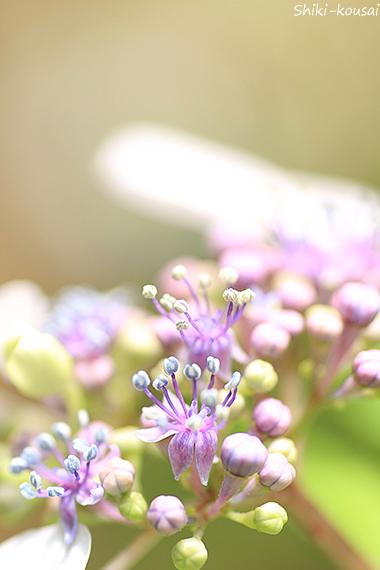 紫陽花・真花