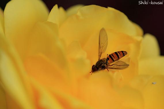 黄薔薇・ハナアブ