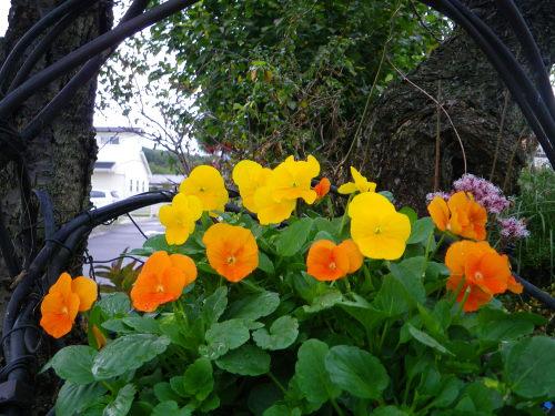 よく咲くスミレ1108