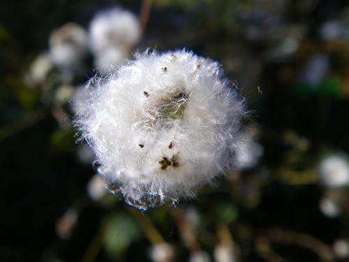 シュウメイ菊の綿毛1126