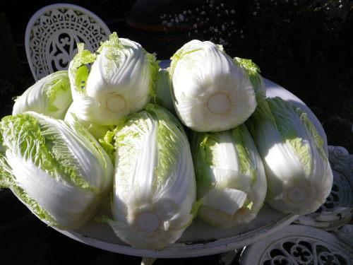 白菜1210